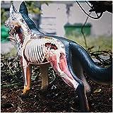FXQ Hund Anatomie Modell - Hund Skelett Anatomisches Modell - 4D Vision-Dog Modell Abnehmbare Organe Körperteile - für Medizinische Ausbildung Traning Hilfe, Puzzle Montage Spielzeug