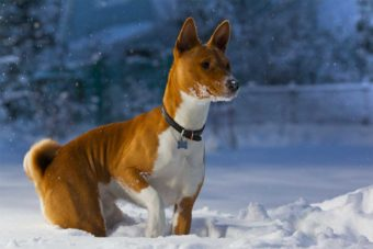 Basenji Hund im Schnee.