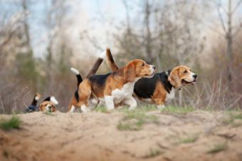 Mehrere Beagle unterwegs im Wald.