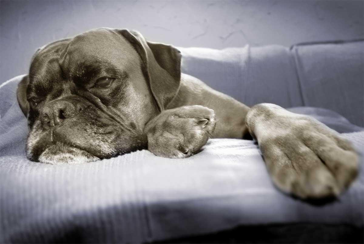 Boxer Hund liegt faul im Bett.