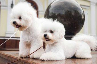 Zwei wartende Bichon Frise Hunde.