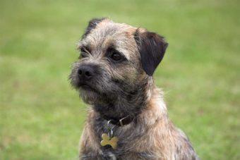 Border Terrier.