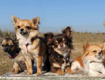 Eine Gruppe Chihuahuas, die kleinste Hunderasse der Welt.