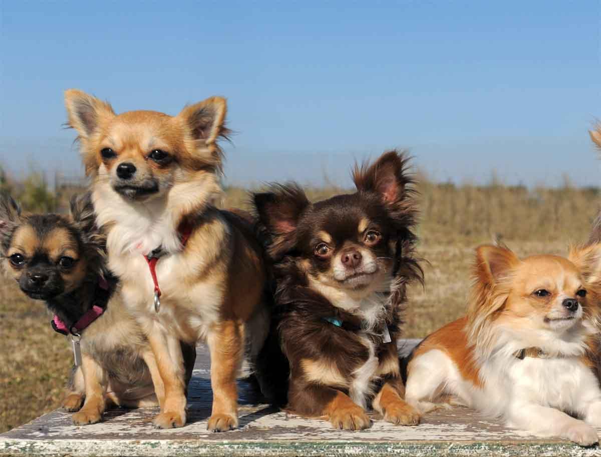 Kleinste Hunderasse der Welt