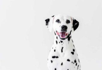 Ein süßer Dalmatinerhund mit den typischen schwarzen Flecken auf dem weißen Fell. Wird verwendet auf der Seite Dürfen Hunde Spargel fressen? Autor  AllaSerebrina | 192427688 | 18. Apr. 2018
