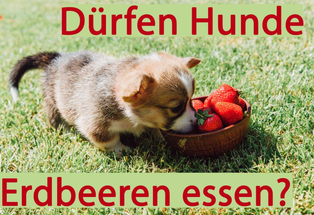 Dürfen Hunde Erdbeeren essen? Ja, denn Erdbeeren sind auch für Hunde gesund.