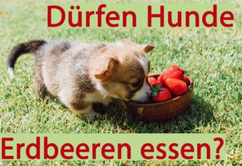 Beschriftetes Bild mit Hund und Erdbeeren auf Gras.