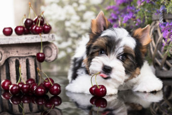 Kleiner Hund mit frisch gepflückten Kirschen. Yorkshire Terrier Welpe.