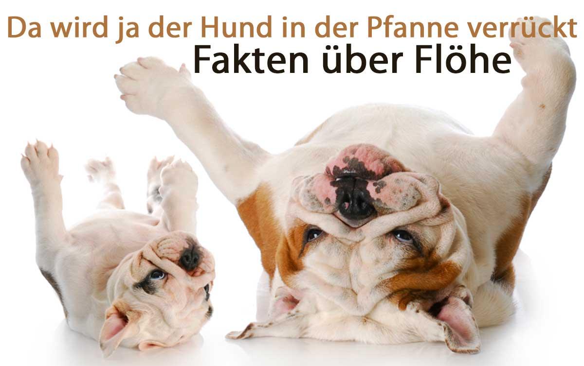 Zwei Hunde liegen auf dem Rücken auf dem Boden. Beschriftet mit Fakten über Flöhe.