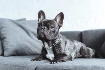 Französische Bulldogge auf Sofa.