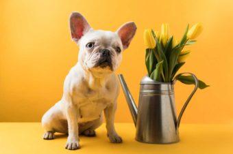Französische Bulldogge neben Tulpen. Pflanzen können auch giftig für Hunde sein.