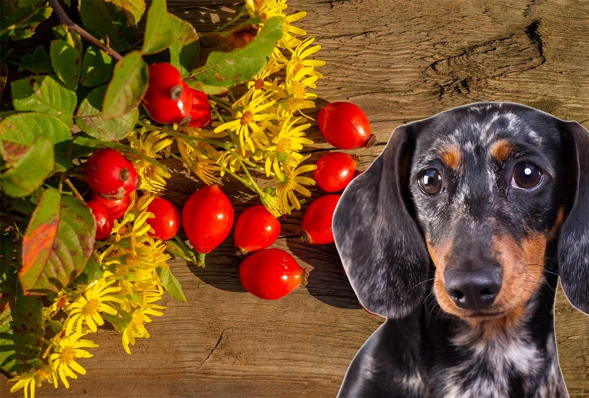 Hagebuttenpulver für Hunde – Sieben echte Vorteile