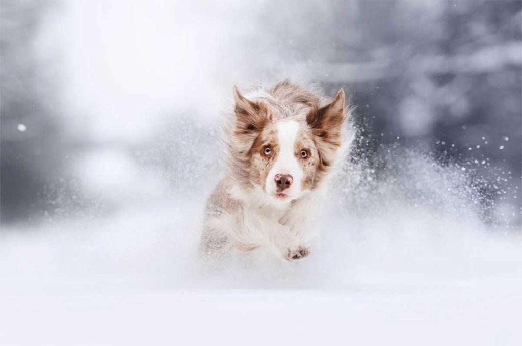 Hund läuft im Winter durch den Schnee.