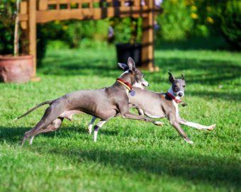 Zwei Hunde der rasse Italienisches Windspiel.