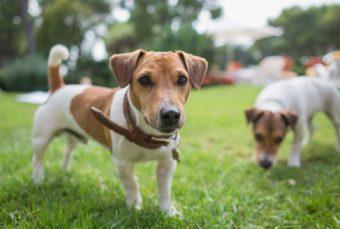 Jack Russell Terrier auf einer Wiese.
