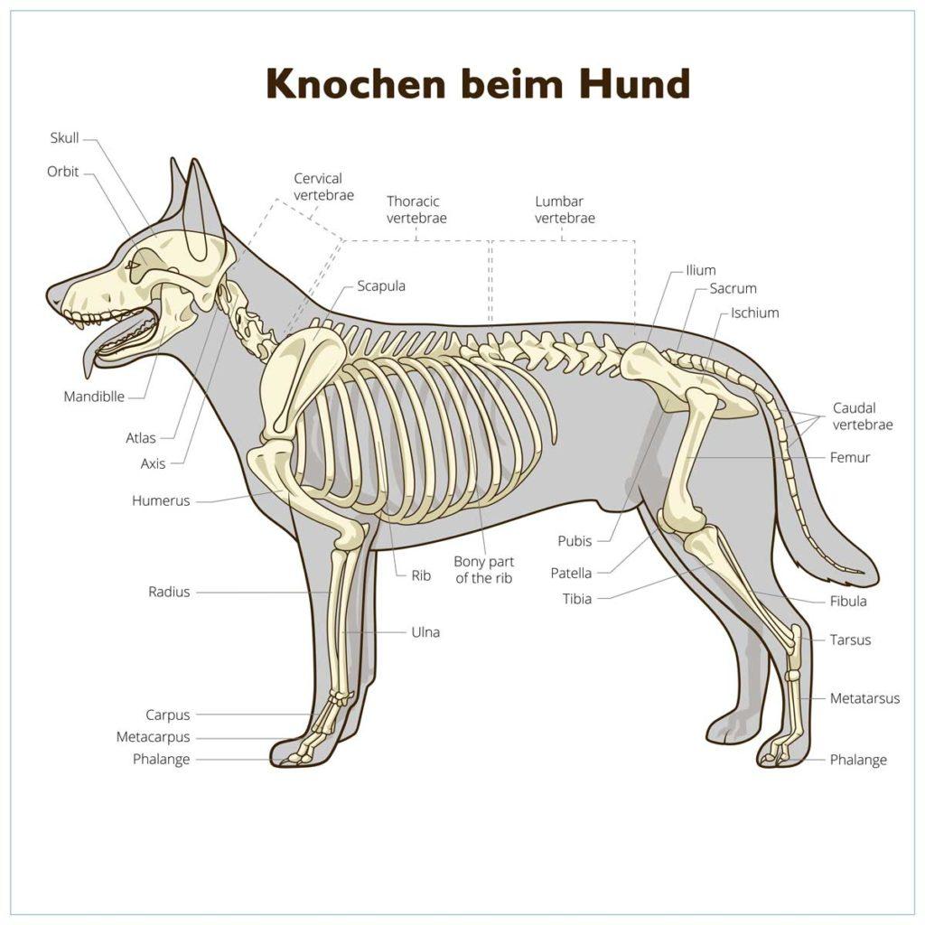 Knochen beim Hund. Das Hundeskelett vereinfacht mit Beschriftung.