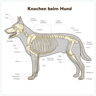 Bones of the Dog - Hundeskelett mit Beschriftungen.