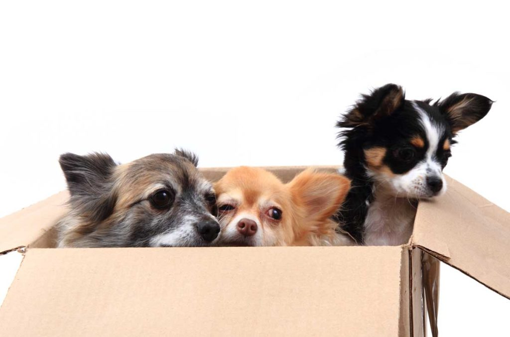 Drei Chihuahua in der Papierbox