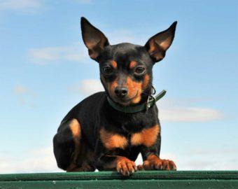 Kleiner Hund der Rasse Minipin.
