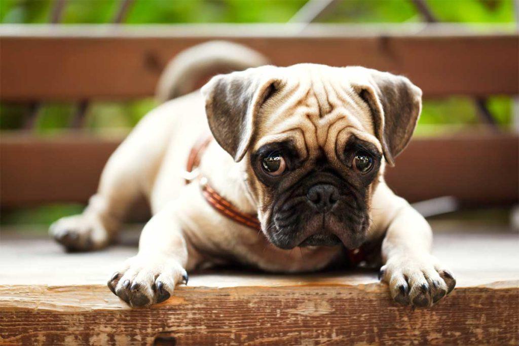 Mops auf Bank. Typischer Schoßhund.