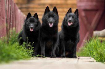 Drei Hunde der Rasse Schipperke.