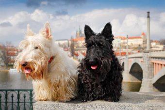 Zwei Schottische Terrier Hunde. Einmal ein schöner schwarzer Hund und ein schwarz-weißer. Die beiden Hunde sitzen, im Hintergrund ist die Prager Burg zu erkennen.