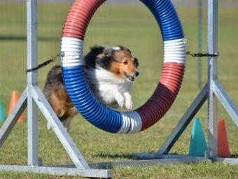 Shetland-Schäferhund (Sheltie) beim Hunde-Agility-Test.