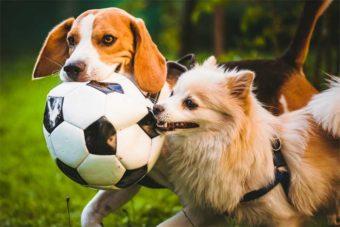 Zwei Hunde spielen gemeinsam mit einem Fußball.