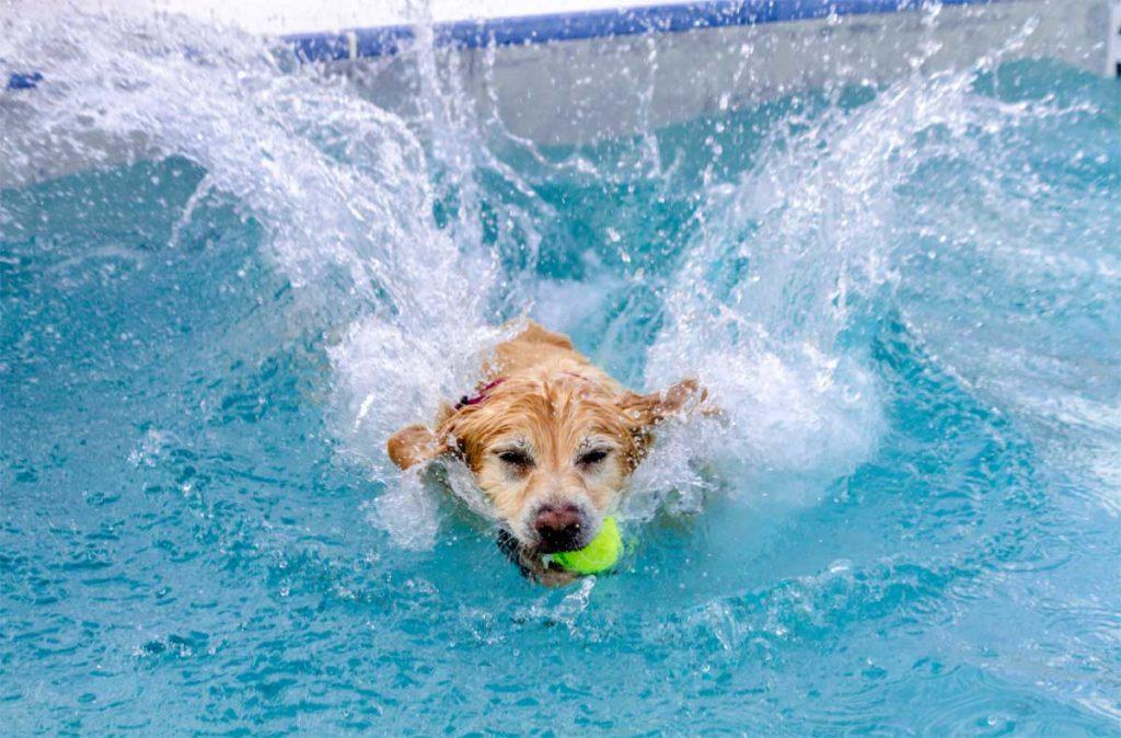 Hund schwimmt mit Tennisball im Schwimmbad. Tennisbälle sind leider sehr gefährlich für Vierbeiner.