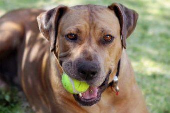 Hund kaut auf einem Tennisball.