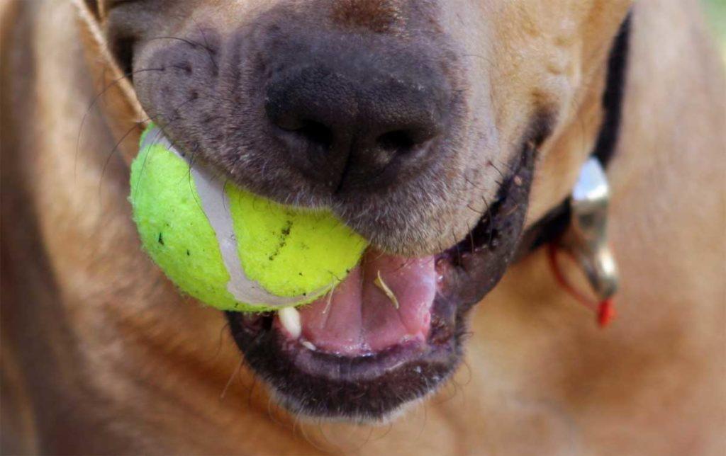 Tennisbälle sind für Hunde gefährlich. Sie können sogar zur tödlichen Gefahr für deinen Vierbeiner werden.