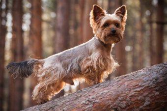 Yorkshire Terrier auf Baumstamm.