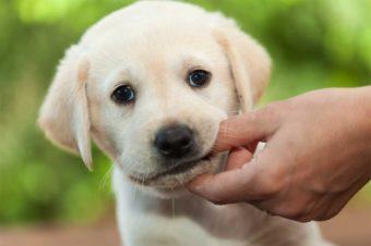 Zahnwechsel beim Hund - Welpe mit Milchzähnen.